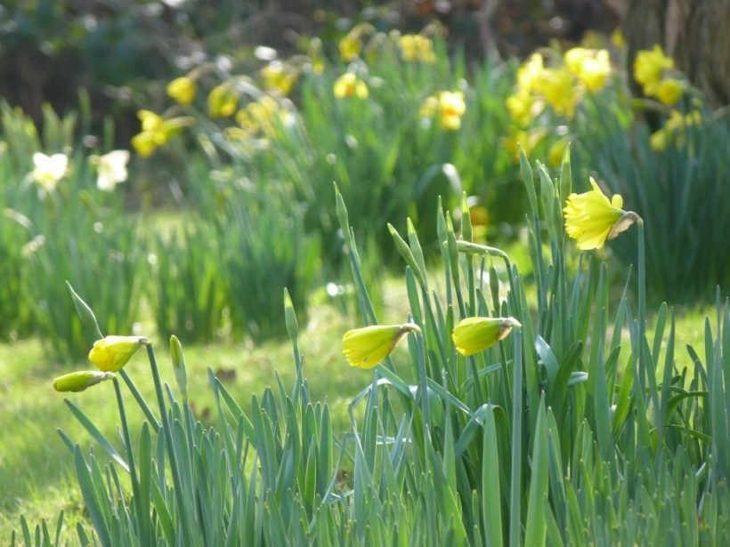 Daffodils in my garden