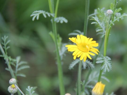 Anthemis tinctoria, Dyer's Chamomile