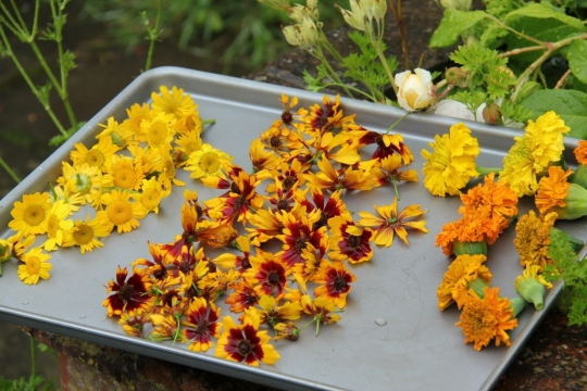 Flowers picked from my dye garden for drying