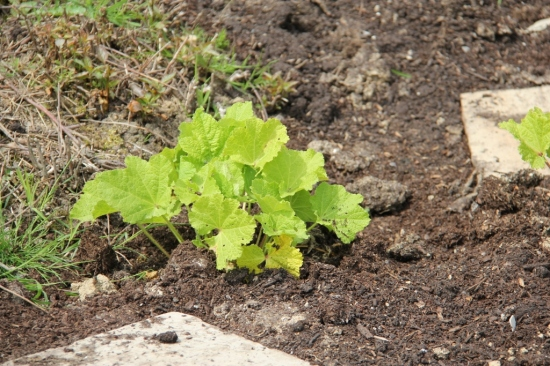 Hollyhock that refuses to grow