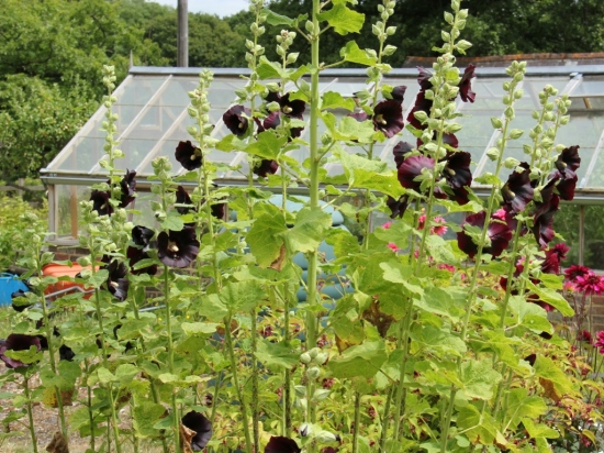 my black hollyhocks