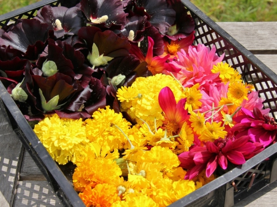 picking flowers for dyeing