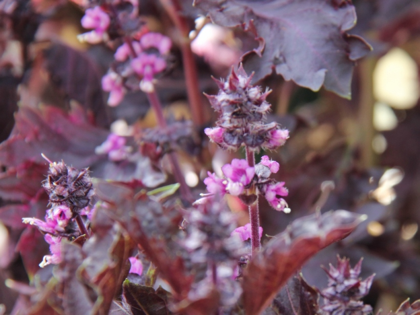 Purple basil flower